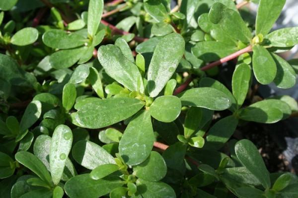 diaforetiko.gr : common purslane 600x399 Γλιστρίδα: Ένα θεραπευτικό φυτό άνω των 2.000 ετών !!