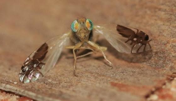 diaforetiko.gr : fly Η μύγα των φρούτων που εξελίχθηκε και έχει μυρμήγκια στα φτερά της!!