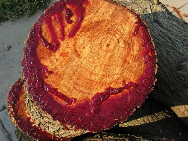 diaforetiko.gr : 560436169 ead6ae369b z 600x450 Δείτε το δέντρο που ματώνει όταν το κόψεις! (βίντεο)