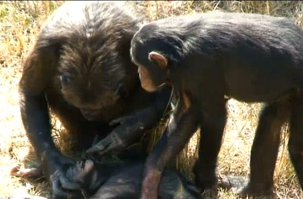 diaforetiko.gr : Chimpanzee 600x395 ΣΥΓΚΛΟΝΙΣΤΙΚΟ: Μητέρα χιμπατζής έχασε το μωρό της και είναι απαρηγόρητη!! (βίντεο)