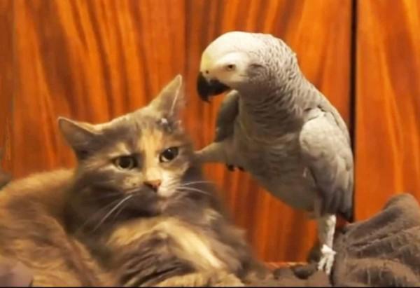 diaforetiko.gr : parrots annoying cats compilation image10 600x411 Αξιολάτρευτοι και ενοχλητικοί παπαγάλοι παρενοχλούν... γατούλες! (βίντεο)