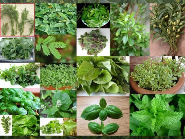 diaforetiko.gr : 13 b 600x450 Βότανα και Αρωματικά φυτά του τόπου μας! Ιδιότητες και χρήσεις αυτών