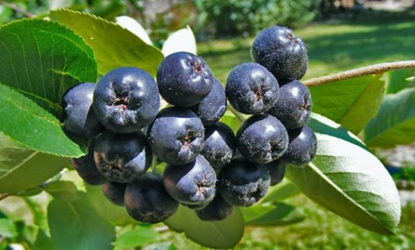 ΑΡΩΝΙΑ: – Ένα θαυματουργό φυτό για την υγεία – διαφορετικό
