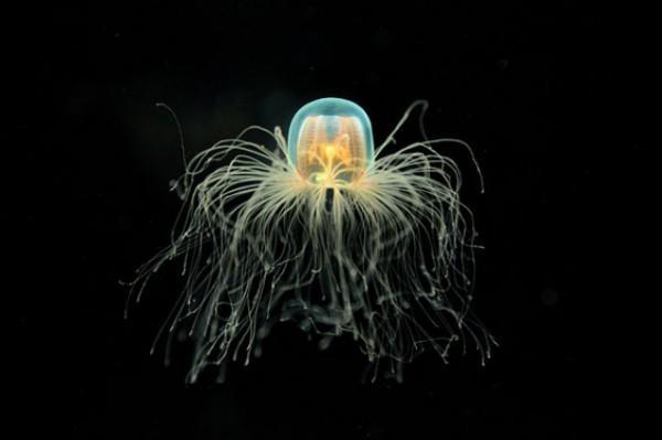 diaforetiko.gr : immortal jellyfish turritopsis nutricula 3 e1359400529494 600x399 10 ζώα που ξεχνάνε να γεράσουν