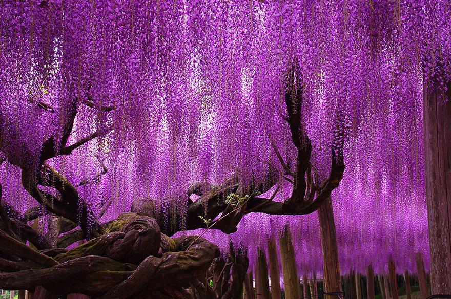 diaforetiko.gr : glisini2 Ένα φυτό 144 ετών που μετατρέπει τον ουρανό σε ροζ υπερθέαμα! Δείτε τις εικόνες που μαγεύουν με την ομορφιά τους…