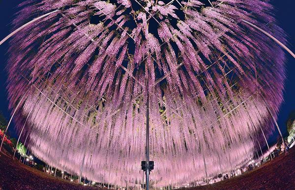 diaforetiko.gr : glisini4 Ένα φυτό 144 ετών που μετατρέπει τον ουρανό σε ροζ υπερθέαμα! Δείτε τις εικόνες που μαγεύουν με την ομορφιά τους…