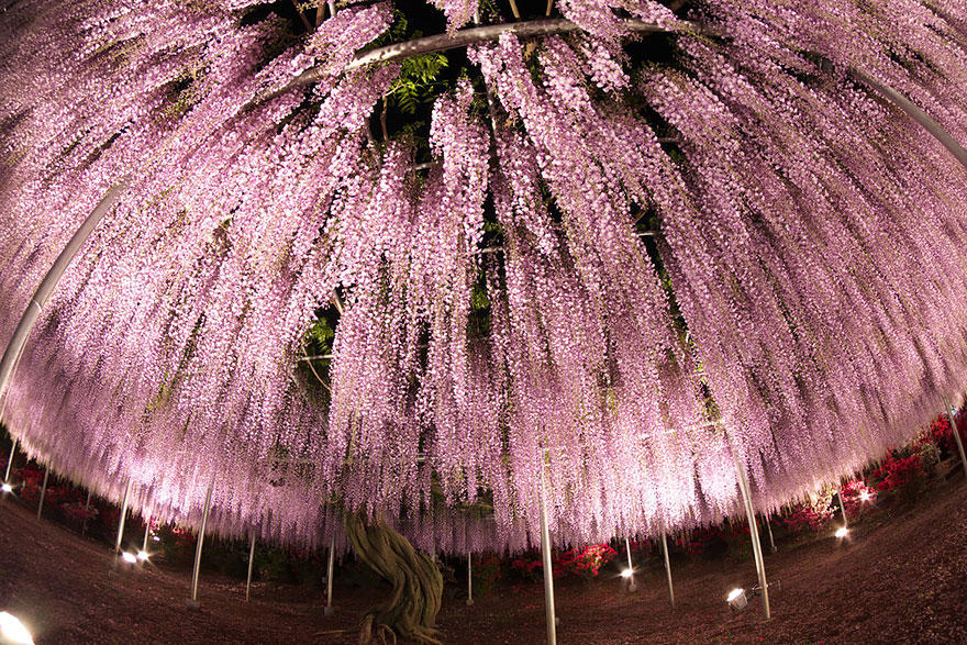 diaforetiko.gr : glisini8 Ένα φυτό 144 ετών που μετατρέπει τον ουρανό σε ροζ υπερθέαμα! Δείτε τις εικόνες που μαγεύουν με την ομορφιά τους…