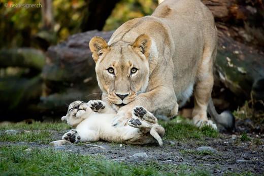 diaforetiko.gr : 693458 18 3 25 τρυφερές στιγμές γονιών με τα μικρά τους στο ζωικό βασίλειο! Γιατί οι γονείς μοιάζουν, σε όποιο είδος κι αν ανήκουν…
