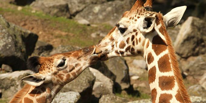 diaforetiko.gr : filiountai GAL 13 366978 MA15N6 4 Οκτωβρίου: Παγκόσμια Ημέρα των Ζώων!   24 τρυφερές φωτογραφίες με ζωάκια που φιλιούνται !!