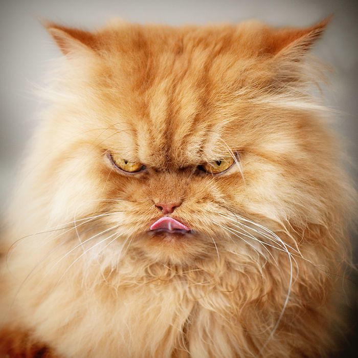 diaforetiko.gr : garfi evil grumpy persian cat 10  700 ΠΟΛΛΑ ΝΕΥΡΑ !!! Αυτός είναι ο Garfi, ο πιο «στραβωμένος» γάτος του κόσμου !!!!
