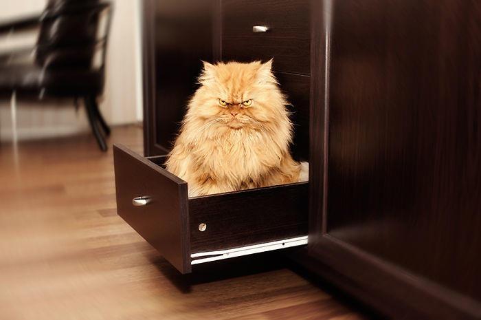 diaforetiko.gr : garfi evil grumpy persian cat 18  700 ΠΟΛΛΑ ΝΕΥΡΑ !!! Αυτός είναι ο Garfi, ο πιο «στραβωμένος» γάτος του κόσμου !!!!