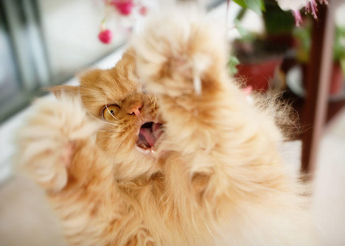 diaforetiko.gr : garfi evil grumpy persian cat 1  700 ΠΟΛΛΑ ΝΕΥΡΑ !!! Αυτός είναι ο Garfi, ο πιο «στραβωμένος» γάτος του κόσμου !!!!