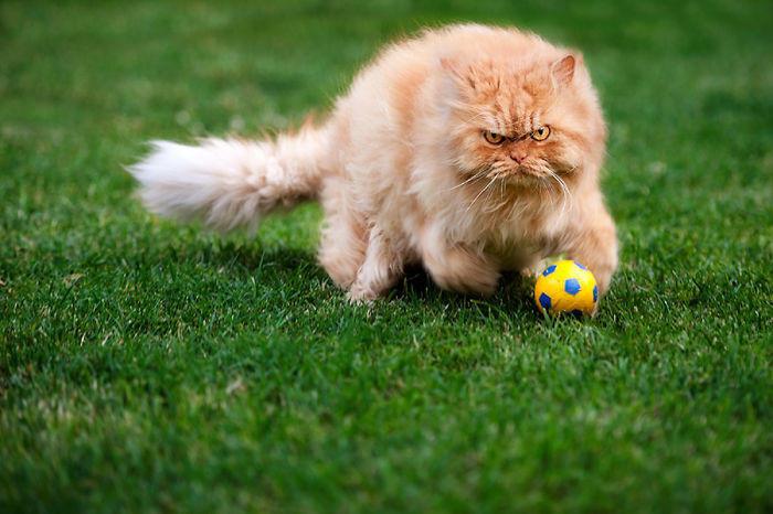 diaforetiko.gr : garfi evil grumpy persian cat 30  700 ΠΟΛΛΑ ΝΕΥΡΑ !!! Αυτός είναι ο Garfi, ο πιο «στραβωμένος» γάτος του κόσμου !!!!