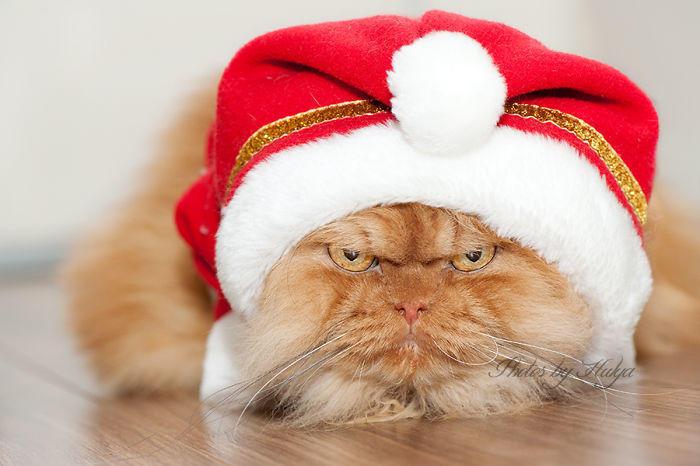 diaforetiko.gr : garfi evil grumpy persian cat 35  700 ΠΟΛΛΑ ΝΕΥΡΑ !!! Αυτός είναι ο Garfi, ο πιο «στραβωμένος» γάτος του κόσμου !!!!