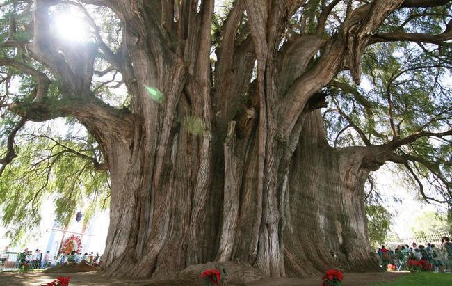 diaforetiko.gr : 76d941c4ee91d2154a1dd0d86888cb5a 650x  17 Πανέμορφα Αιωνόβια Δέντρα Που Επιβεβαιώνουν Το Θαύμα της Φύσης.