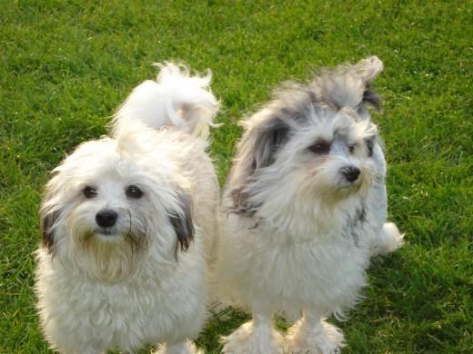 Σκύλος σκυλιά κουταβάκια