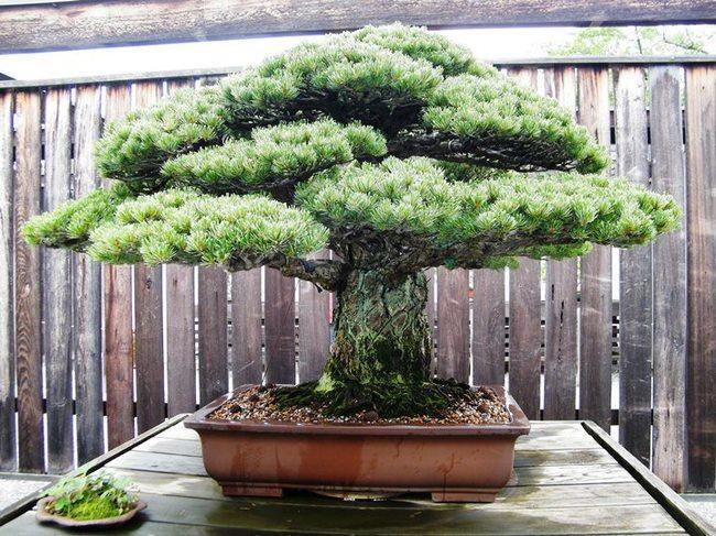 diaforetiko.gr : 90e712bd839781fbf2cea4106a4345ac 650x  17 Πανέμορφα Αιωνόβια Δέντρα Που Επιβεβαιώνουν Το Θαύμα της Φύσης.