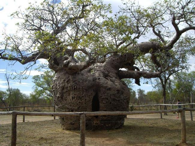 diaforetiko.gr : 91549f18d3f7ce466494e2509f568b49 650x  17 Πανέμορφα Αιωνόβια Δέντρα Που Επιβεβαιώνουν Το Θαύμα της Φύσης.
