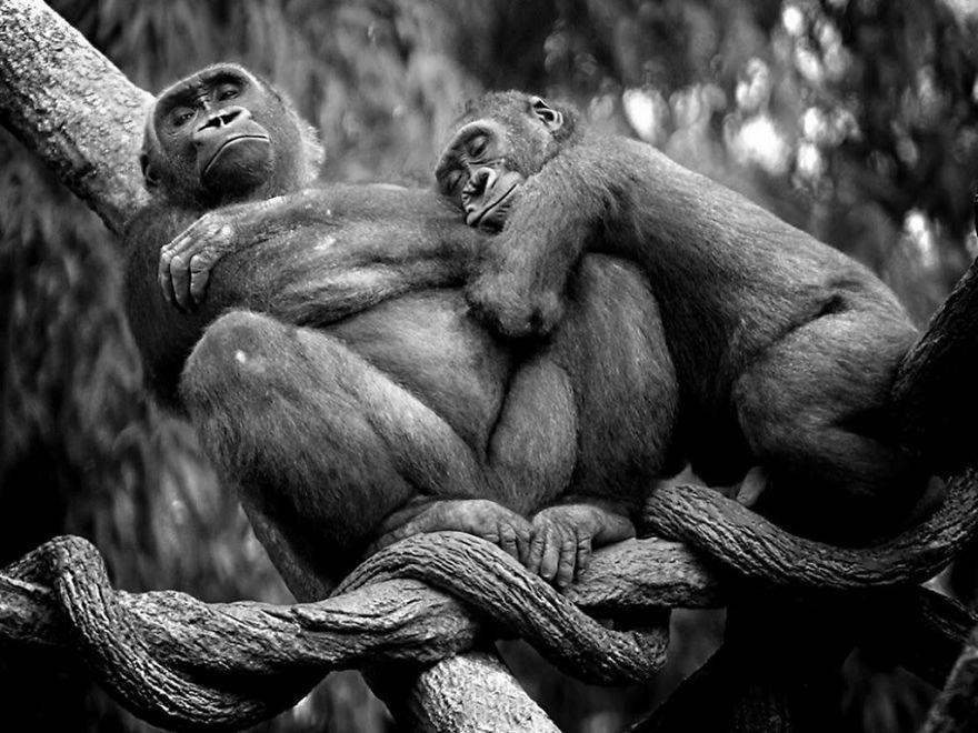 diaforetiko.gr : animal couples apes  880 20 φωτογραφίες που αποδεικνύουν πως τα ζώα αγαπιούνται όπως ακριβώς και οι άνθρωποι.