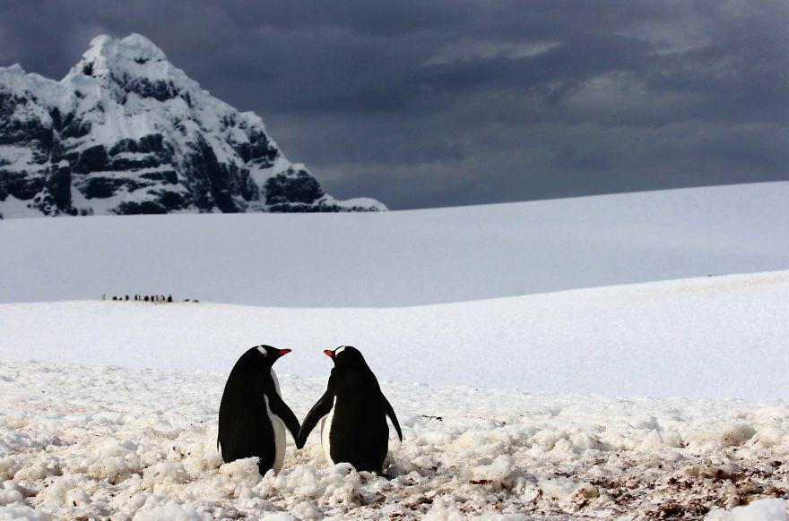 diaforetiko.gr : animal couples in love penguins  880 20 φωτογραφίες που αποδεικνύουν πως τα ζώα αγαπιούνται όπως ακριβώς και οι άνθρωποι.