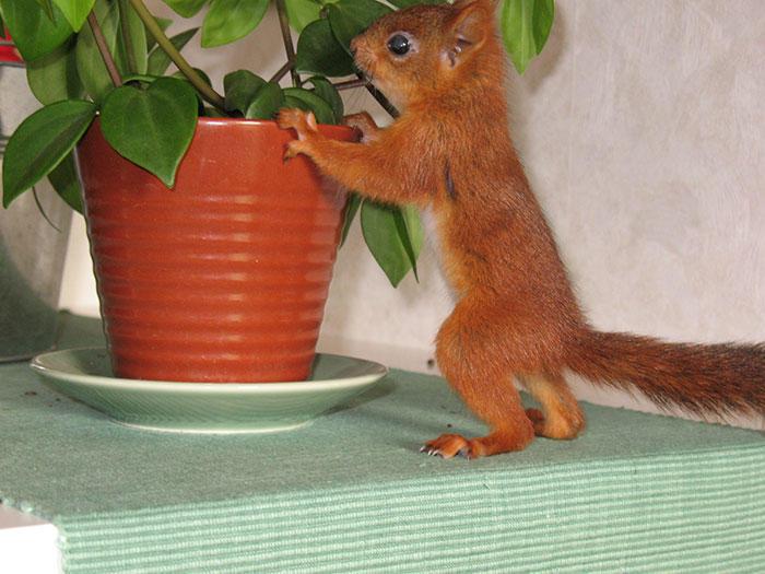 diaforetiko.gr : adopted wild red squirrel baby arttu finland 1  Η συγκινητική ιστορία ενός τραυματισμένου κόκκινου σκίουρου που υιοθετήθηκε από ανθρώπους.