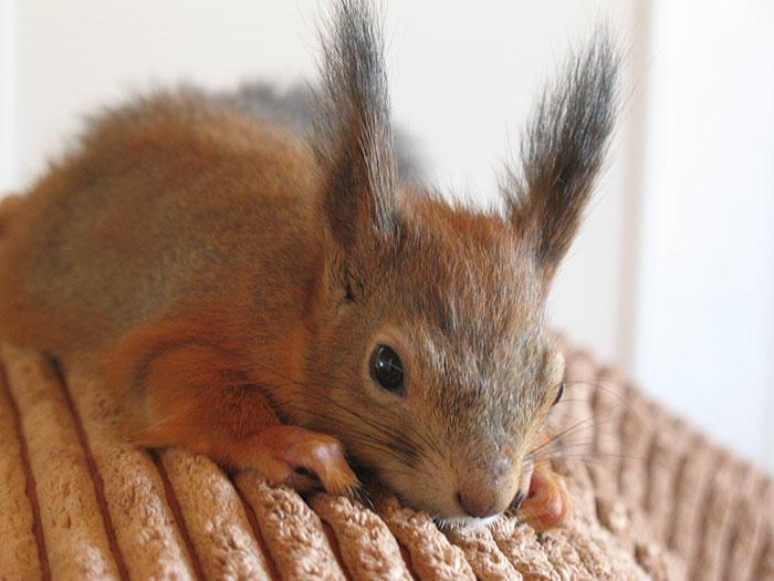diaforetiko.gr : adopted wild red squirrel baby arttu finland 12  Η συγκινητική ιστορία ενός τραυματισμένου κόκκινου σκίουρου που υιοθετήθηκε από ανθρώπους.