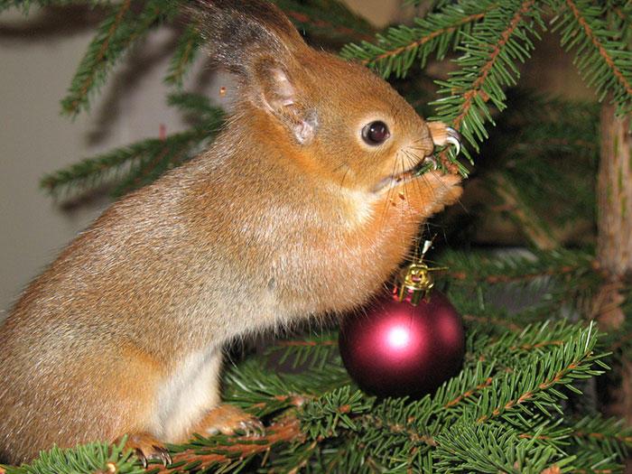 diaforetiko.gr : adopted wild red squirrel baby arttu finland 13  Η συγκινητική ιστορία ενός τραυματισμένου κόκκινου σκίουρου που υιοθετήθηκε από ανθρώπους.