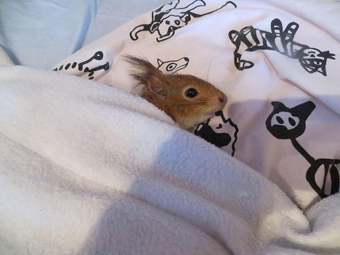 diaforetiko.gr : adopted wild red squirrel baby arttu finland 14  Η συγκινητική ιστορία ενός τραυματισμένου κόκκινου σκίουρου που υιοθετήθηκε από ανθρώπους.