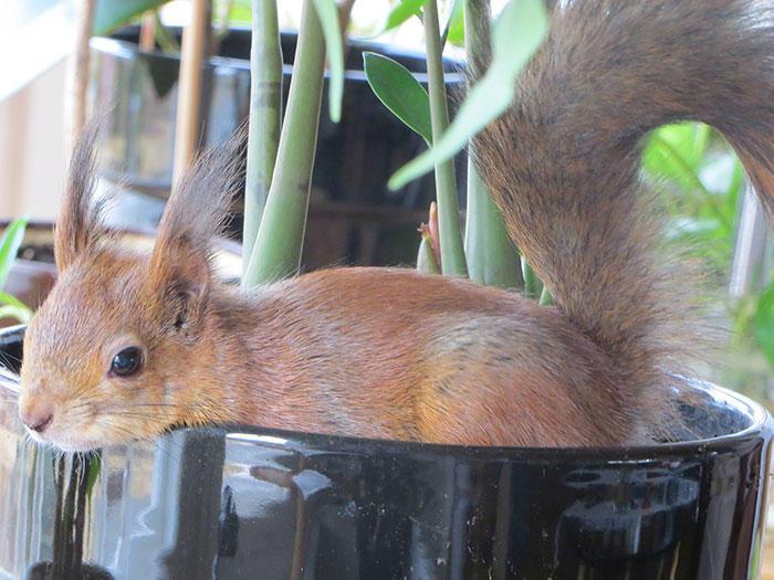 diaforetiko.gr : adopted wild red squirrel baby arttu finland 16  Η συγκινητική ιστορία ενός τραυματισμένου κόκκινου σκίουρου που υιοθετήθηκε από ανθρώπους.