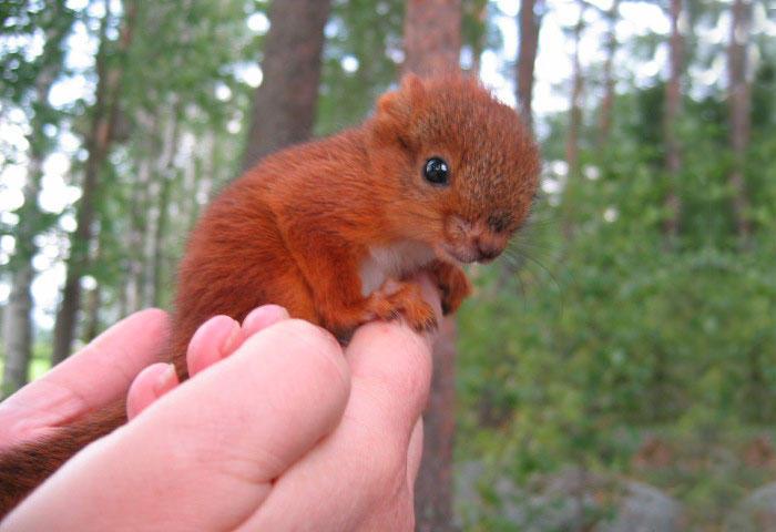 diaforetiko.gr : adopted wild red squirrel baby arttu finland 19  Η συγκινητική ιστορία ενός τραυματισμένου κόκκινου σκίουρου που υιοθετήθηκε από ανθρώπους.