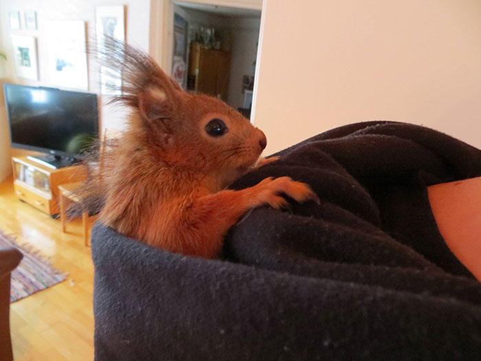diaforetiko.gr : adopted wild red squirrel baby arttu finland 20  Η συγκινητική ιστορία ενός τραυματισμένου κόκκινου σκίουρου που υιοθετήθηκε από ανθρώπους.