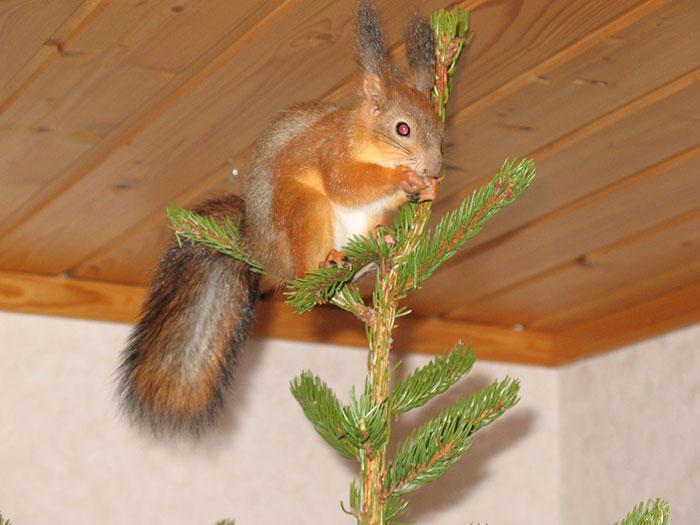 diaforetiko.gr : adopted wild red squirrel baby arttu finland 4  Η συγκινητική ιστορία ενός τραυματισμένου κόκκινου σκίουρου που υιοθετήθηκε από ανθρώπους.