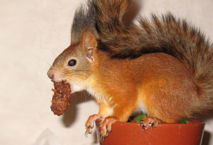 diaforetiko.gr : adopted wild red squirrel baby arttu finland 5  Η συγκινητική ιστορία ενός τραυματισμένου κόκκινου σκίουρου που υιοθετήθηκε από ανθρώπους.