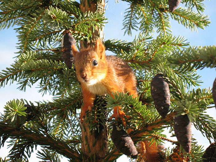 diaforetiko.gr : adopted wild red squirrel baby arttu finland 7  Η συγκινητική ιστορία ενός τραυματισμένου κόκκινου σκίουρου που υιοθετήθηκε από ανθρώπους.