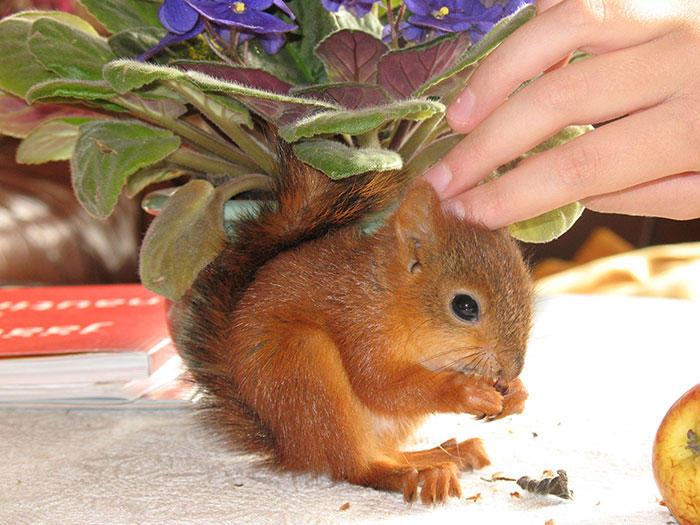 diaforetiko.gr : adopted wild red squirrel baby arttu finland 8  Η συγκινητική ιστορία ενός τραυματισμένου κόκκινου σκίουρου που υιοθετήθηκε από ανθρώπους.