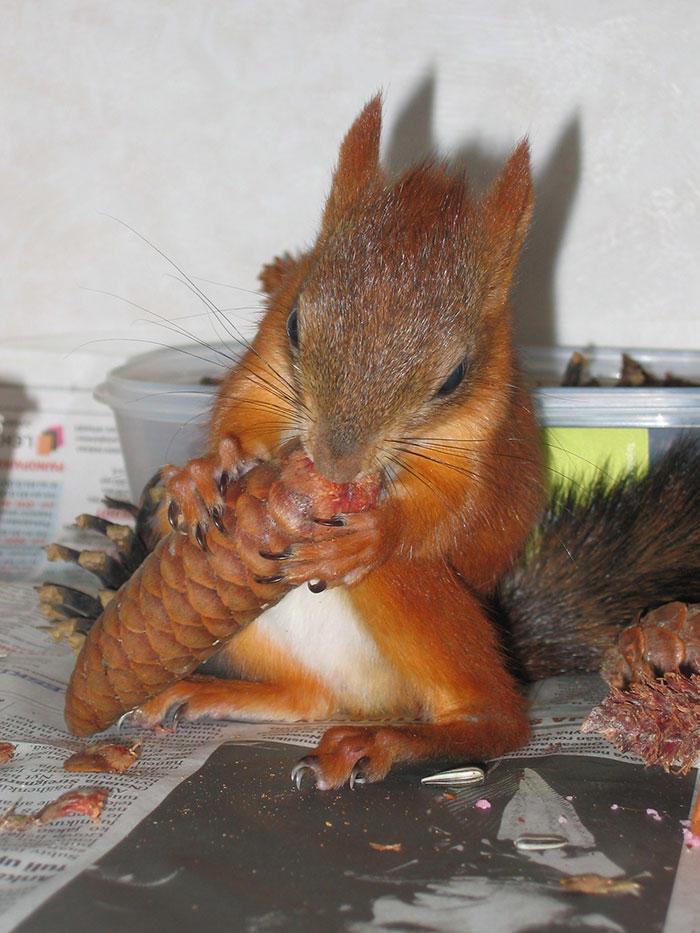 diaforetiko.gr : adopted wild red squirrel baby arttu finland 9  Η συγκινητική ιστορία ενός τραυματισμένου κόκκινου σκίουρου που υιοθετήθηκε από ανθρώπους.