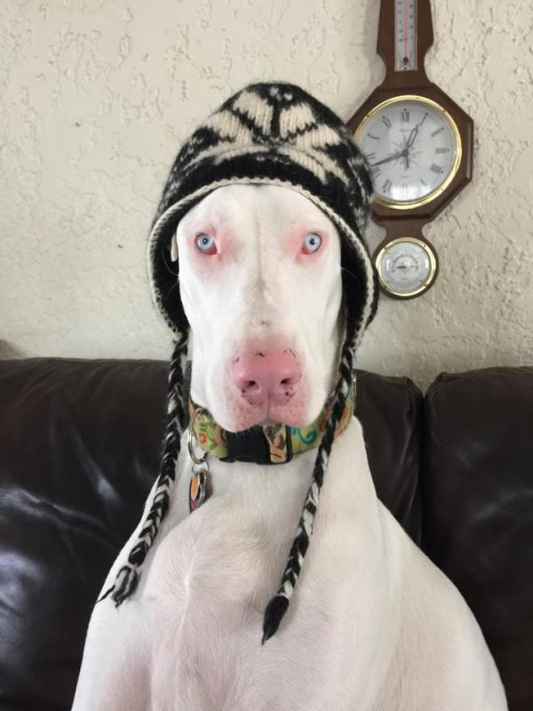 """""""She took a look around her new environment, walked up to me and gave me lots of puppy kisses. Then she went on to greet our two other Great Danes and it seemed as if they've known each other already. That's when I knew she belonged to us."""""""