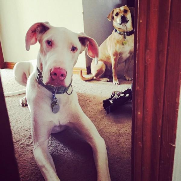 Echo the rescue Great Dane is a double merle who is deaf.
