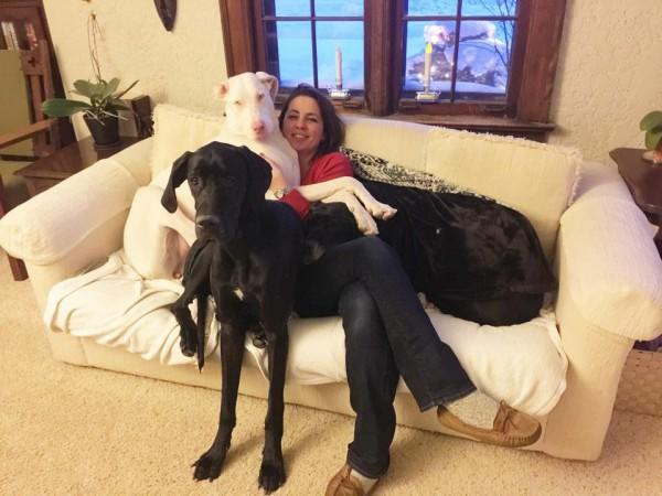 Echo the rescue Great Dane is a double merle who is deaf. With family.