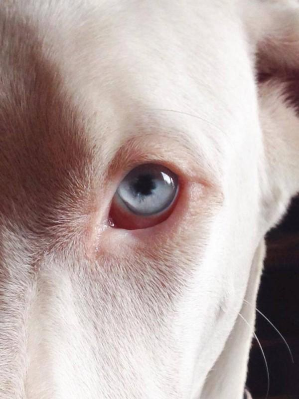 Echo the rescue Great Dane is a double merle who is deaf. Her eye.