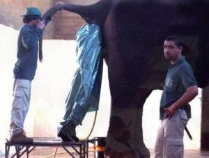 Worst-jobs-elephant-butt