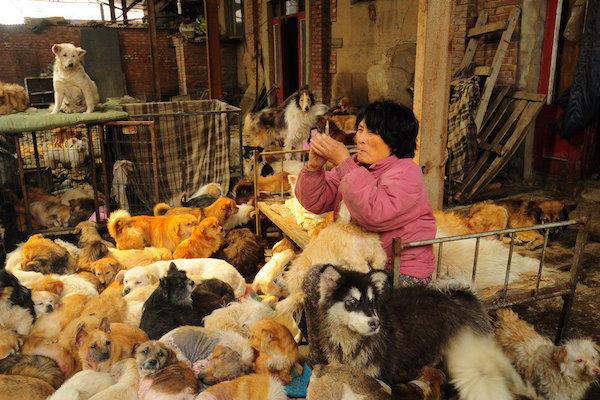 diaforetiko.gr : 13003102130201 Η συνταξιούχος που αγοράζει σκυλιά για να τα σώσει από τη σφαγή στο «Φεστιβάλ Σκυλίσιου Κρέατος» της Κίνας!