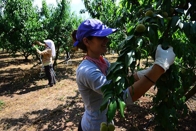 diaforetiko.gr : DSC 9592 Πρώτη φορά νέοι Έλληνες στα χωράφια για δουλειά! Οι αλλοδαποί φεύγουν, οι ντόπιοι έρχονται