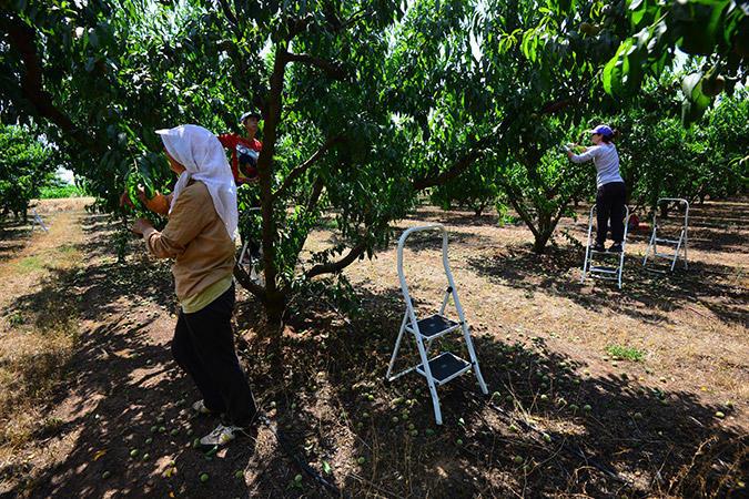 diaforetiko.gr : DSC 9598 Πρώτη φορά νέοι Έλληνες στα χωράφια για δουλειά! Οι αλλοδαποί φεύγουν, οι ντόπιοι έρχονται