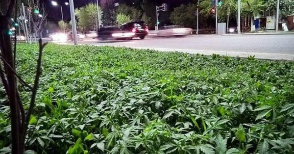 diaforetiko.gr : mari 600x314 Επική γκάφα: Δήμαρχος διακόσμησε τις πλατείες με φυτά, μόνο που δεν κατάλαβε ότι γέμισε τη πόλη με μαριχουάνα !!!