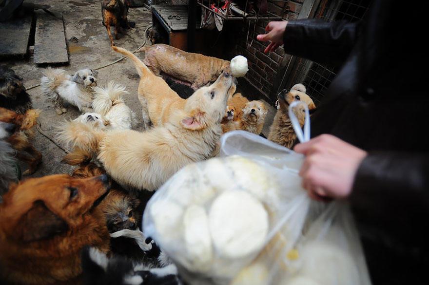diaforetiko.gr : rescued dogs yulin dog meat festival china 14 Η συνταξιούχος που αγοράζει σκυλιά για να τα σώσει από τη σφαγή στο «Φεστιβάλ Σκυλίσιου Κρέατος» της Κίνας!