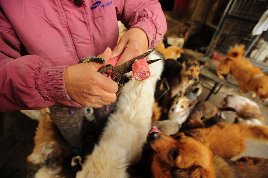 diaforetiko.gr : rescued dogs yulin dog meat festival china 15 Η συνταξιούχος που αγοράζει σκυλιά για να τα σώσει από τη σφαγή στο «Φεστιβάλ Σκυλίσιου Κρέατος» της Κίνας!