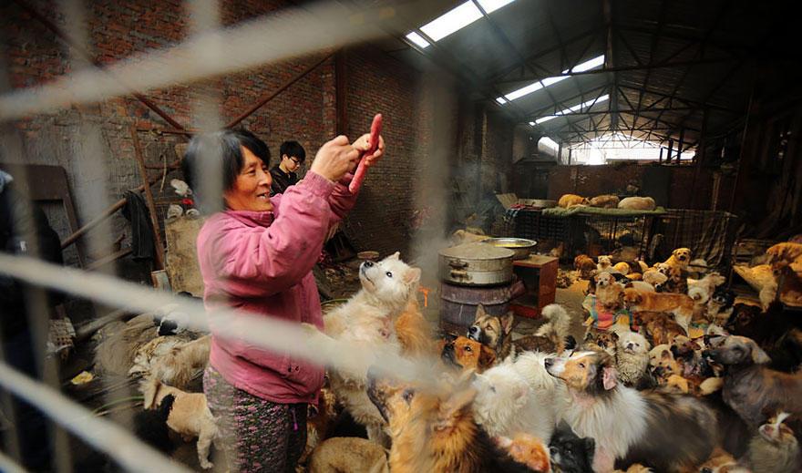 diaforetiko.gr : rescued dogs yulin dog meat festival china 16 Η συνταξιούχος που αγοράζει σκυλιά για να τα σώσει από τη σφαγή στο «Φεστιβάλ Σκυλίσιου Κρέατος» της Κίνας!