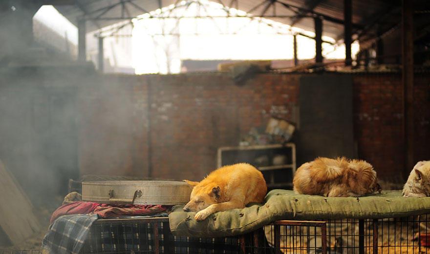 diaforetiko.gr : rescued dogs yulin dog meat festival china 18 Η συνταξιούχος που αγοράζει σκυλιά για να τα σώσει από τη σφαγή στο «Φεστιβάλ Σκυλίσιου Κρέατος» της Κίνας!