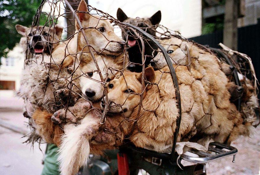 diaforetiko.gr : rescued dogs yulin dog meat festival china 24 Η συνταξιούχος που αγοράζει σκυλιά για να τα σώσει από τη σφαγή στο «Φεστιβάλ Σκυλίσιου Κρέατος» της Κίνας!